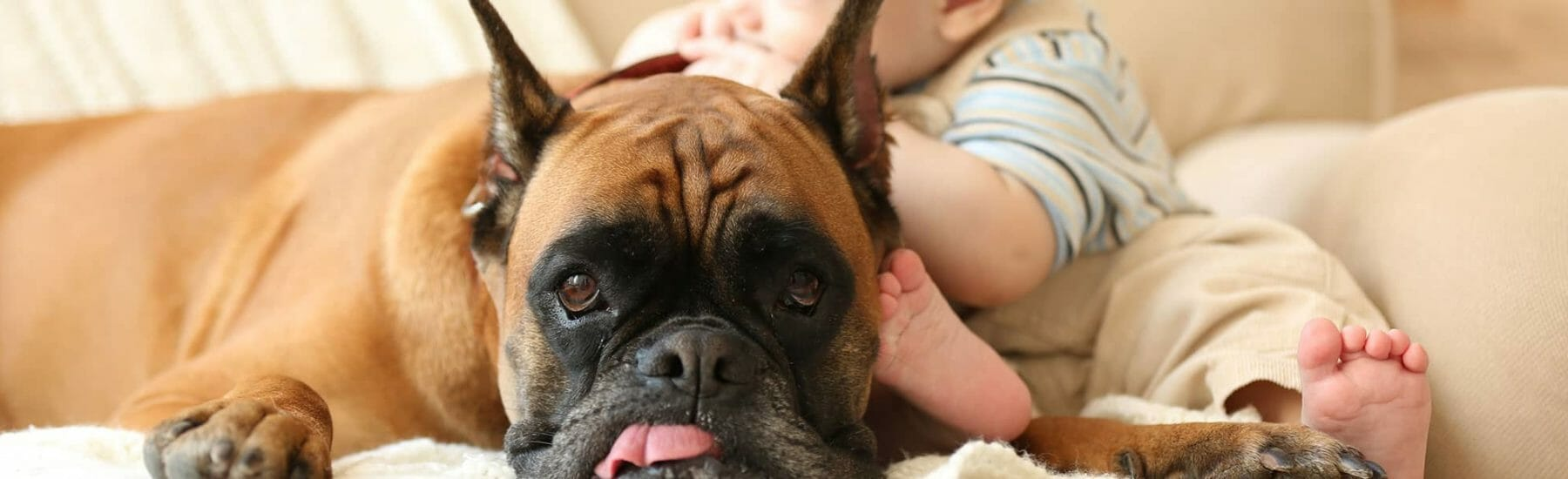 Small pug with tongue sticking out of mouth with little child laying on top