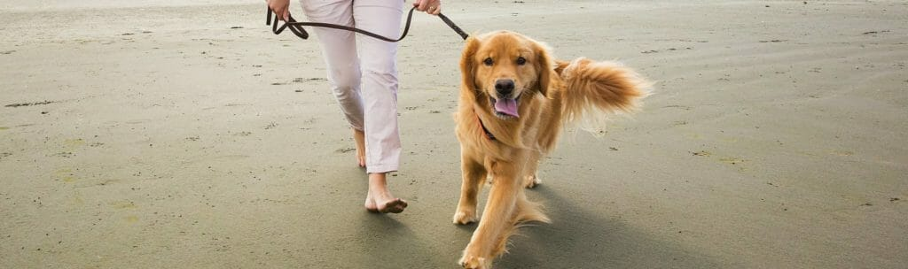 Golden retriever being walked by owner on sand beach